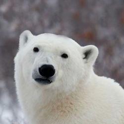 Popular Opinion Polar Bear Meme Generator